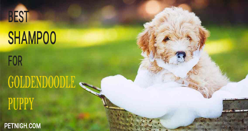 shampoo for goldendoodle puppies to look after them